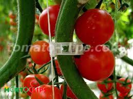 clips en planta de tomate