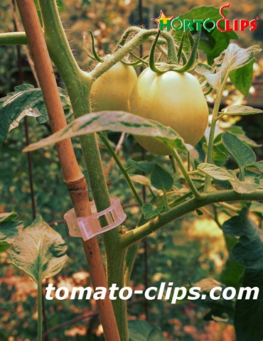 tomato crops using the clips for get a good growth.