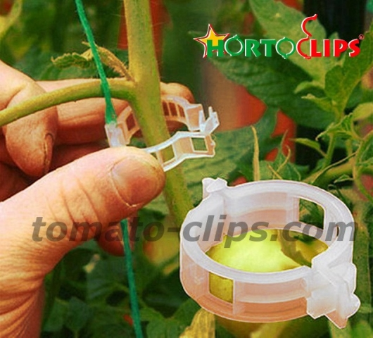 installation of Hortoclips for the tomato plant.