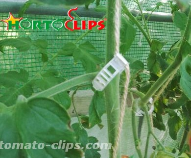 Tomato clips Hortoclips used for the support of the tomato plant.