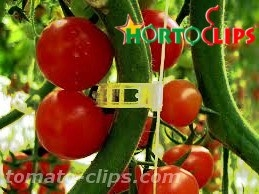 tomato clips Hortoclips used for straighten the tomato crops.
