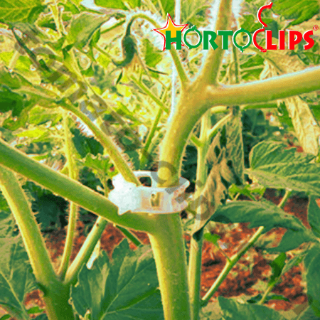 tomato plant using the tomato clip for get a good growth.