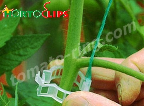 installation of clips for the tomato plant.